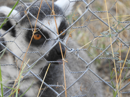 A lemur saved from the poor management of a zoo stays in a wildlife rescue center in Madrid Stok Fotoğraf