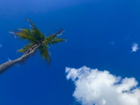 Green palm tree with blue sky, Florida - USA