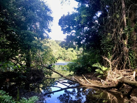Beautiful untouched nature (wetlands): birds (waterfowl / wild fowl) swimming in a lake surrounded by lush greenery and water lily petals at Pointe-? -Pierre in Trinidad (Caribbean island)
