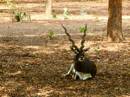 Blackbuck (Antelope cervicapra), Indian Antelope with long ringed horns and white and brown fur in Chennai (Tamil Nadu, India)