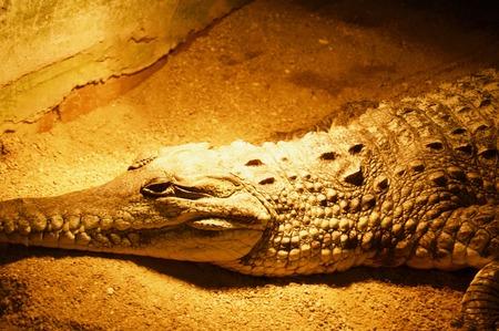 Close-up of the scary head of a huge alligator crocodile in Victoria (Australia) close to Melbourne