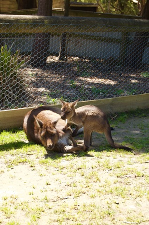 A cute family of furry brown kangaroos playing outdoors in Victoria (Australia) close to Melbourne on a beautiful sunny day