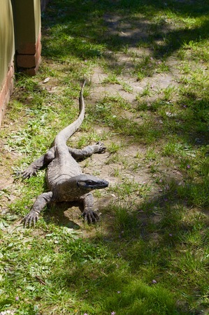 Danger zone: Huge scary textured alligator crocodile on a green grass lawn at Victoria (Australia) close to Melbourne