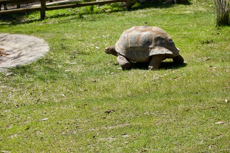 Old giant turtle with brown shell in Victoria (Australia) close to Melbourne crawling towards water