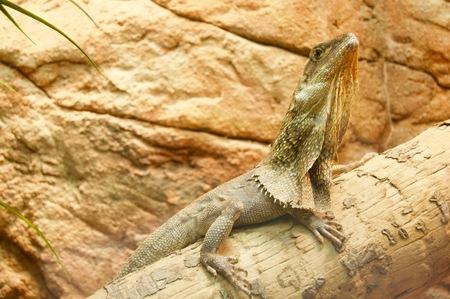 Beautiful green iguana sitting on a branch