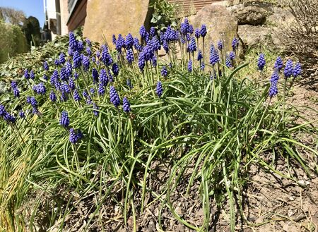 Closeup in a colorful blooming spring backyard garden around easter season with beautiful wildflower blossom of grape hyacinth (blue muscari, bluebells) amongst green weed lawn Stok Fotoğraf