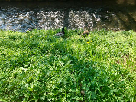 Group scenery of cute fluffy wild male & female water birds (waterfowl): ducks & drakes near a stream of water (creek / river), walking through green spring grass of a park / backyard Stok Fotoğraf