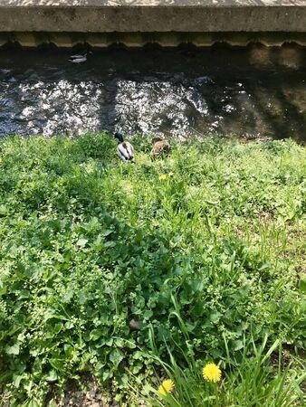 Group scenery of cute fluffy wild male & female water birds (waterfowl): ducks & drakes near a stream of water (creek / river), walking through green spring grass of a park / backyard Stok Fotoğraf
