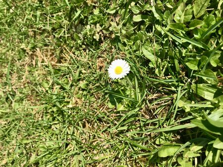 Outdoor closeup of seasonal wild nature in a grass backyard in Europe during early springtime (April, May) with a beautiful flower bed of fresh white common lawn daisies (bellis perennis) blooming