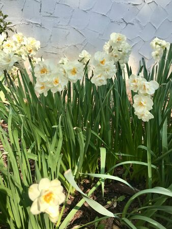 Beautiful bright outdoor closeup of a wild perennial narcissus spring garden field (daffodil, jonquil) blooming around Easter with colorful white & yellow petal trumpet flower heads