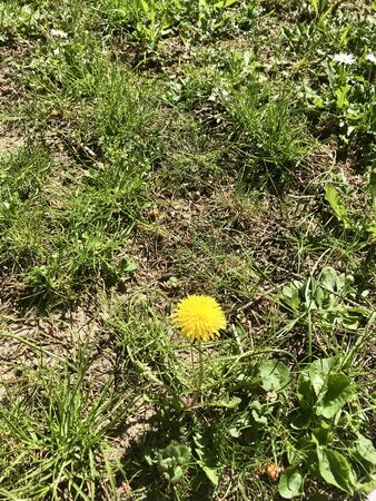 Close up of a beautiful bright yellow blooming Taraxacum flower (common dandelion) in a rural country garden amongst others green grass & wild weed during spring season