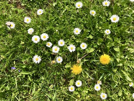 Seasonal wildflowers bloom: Common English lawn daisy (bellis perennis) & Dandelion (Taraxacum officinale) at the beginning of spring flowering time on a weed grass field in a green backyard garden Stok Fotoğraf