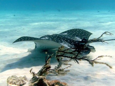 spotted ray: spotted eagle ray