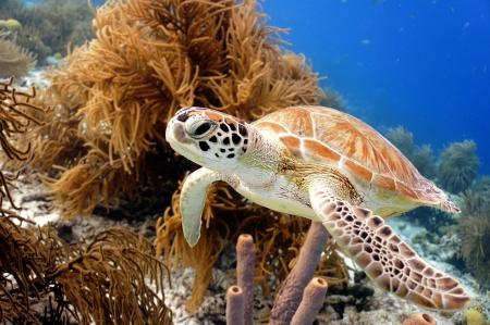 緑色の海亀の水泳