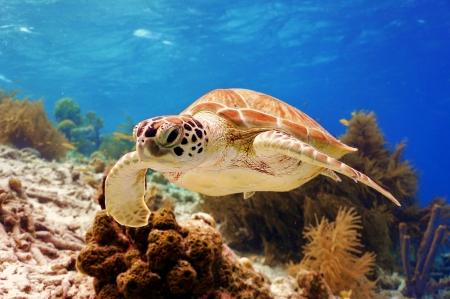 swimming green sea turtle photo