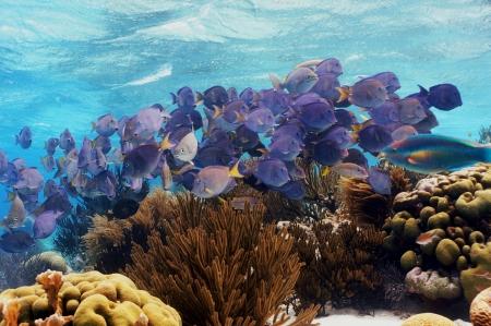school of fish Blue Tang