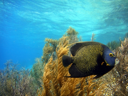 French Angelfish swimming along reef