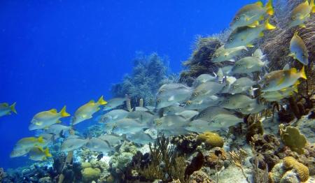 school of fish Snapper Stock Photo