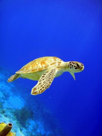 swimming green sea turtle Stock Photo