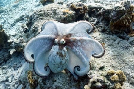 posing common octopus Stock Photo