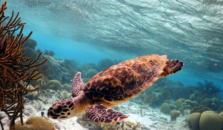 swimming hawksbill turtle Stock Photo