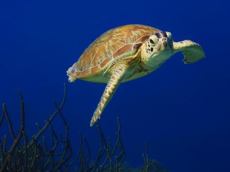 schildkroete: Schwimmen gr�ne Meeresschildkr�te