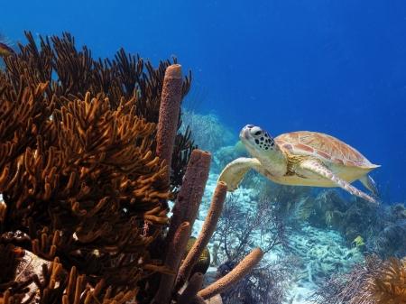 Green Sea Turtle swimming along reef
