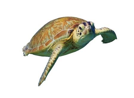 tortue verte: Tortue de mer verte isol�e sur fond blanc Banque d'images