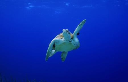 pick me  high five  green sea turtle making a turn Stock Photo
