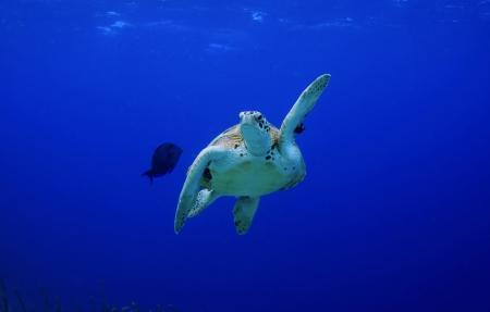 green sea turtle making a turn Stock Photo