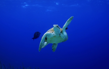 pick me  high five  green sea turtle making a turn photo