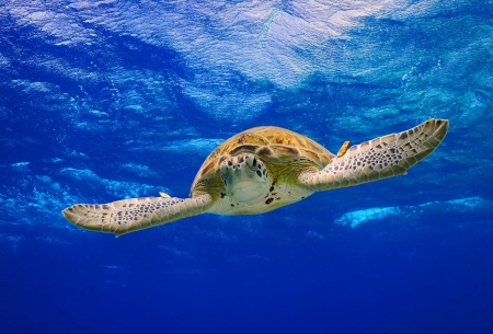 Green Sea Turtle descending into the blue after taking a breath on the surface