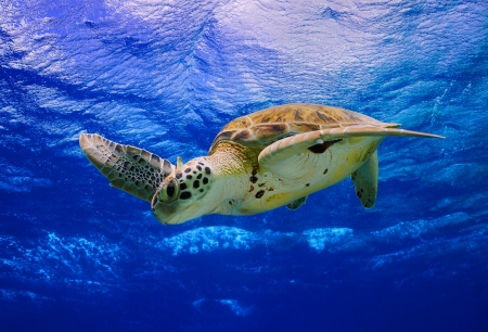 corals: Green Sea Turtle descending into the blue after taking a breath on the surface
