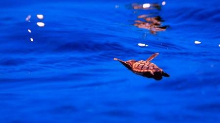 swimming baby sea turtle hatchling, underwater