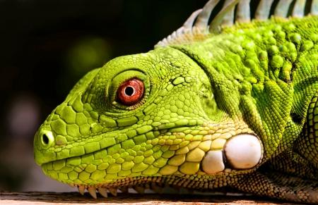 juvenile green iguana close up