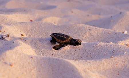 baby turtle: baby sea turtle hatchling beginning his journey on the beach Stock Photo
