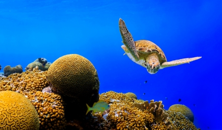 Green Sea Turtle swimming along tropical reef in Caribbean