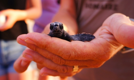 sea turtle conservasionist holding hatchling