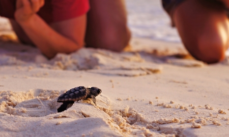 releasing: watching baby sea turtle hatchling on the beach