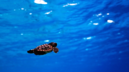 swimming baby sea turtle hatchling, underwater