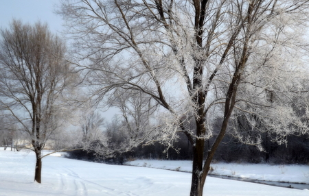 enveloped: The trees are enveloped by the early morning frost
