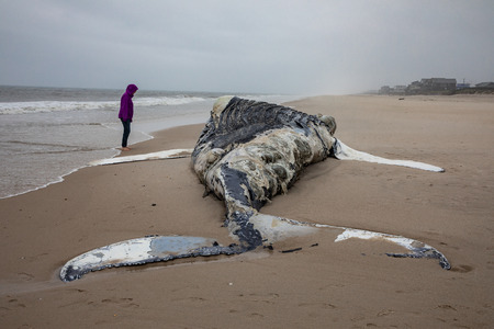 Dead female humpback whale at shore with ocean in background with person looking at it