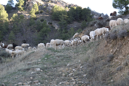 A sheep herd grazing free during autumn in the pastures and bare trees forests of the green hills of Monterde rural town, in Aragon region, Spain