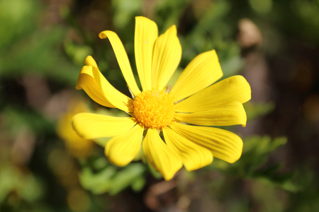 A close view of a yellow petals daisy like flower in a garden, with a earth and lawn background, during a sunny day