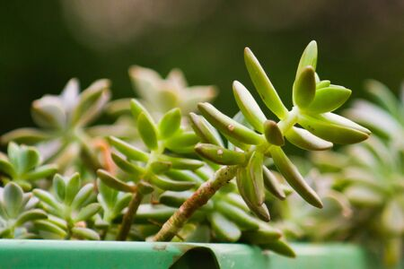 Zoom of a succulent plant in a green vase isolated with a blurred vegetation and greeish background.