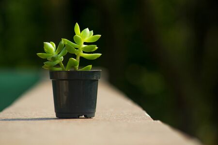 Succulent plant isolated in a pot with a natural and vegetation blurred background