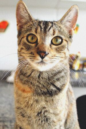 Tabby cat looking directly into the camera
