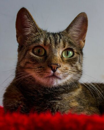 Tabby cat lying on a red blanket