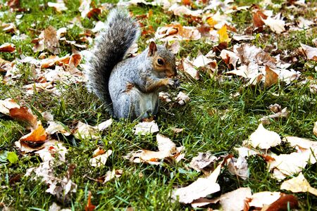 Squirrel playing in autumn leaves in Central Park, New York City