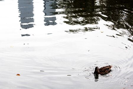 Little brown duck in a lake in Central Park, New York City